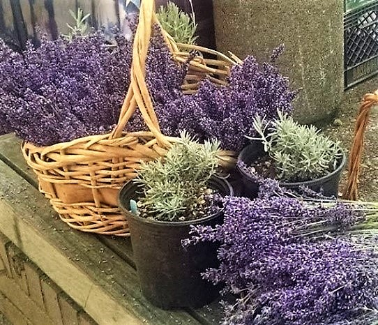 SEASONAL FEATURE: LAVENDER